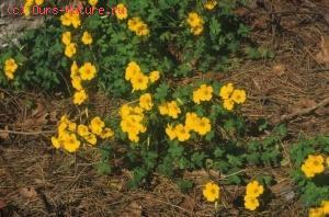 Кислица клубненосная (Oxalis tuberosa)
