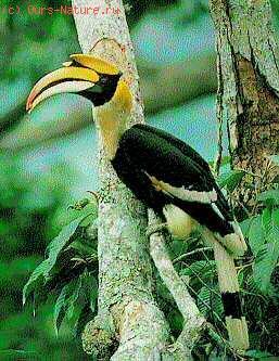 Калао (Buceros bicornis)