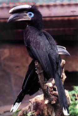 Цератогимна чёрная (Ceratogymna atrata)