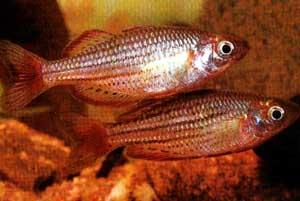Рыбка радужная (Melanotaenia maccullochi)