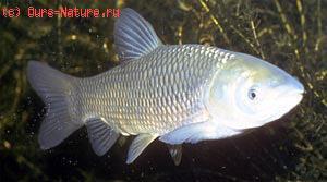 Амур белый (Ctenopharyngodon idella)