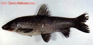 Амур чёрный (Mylopharyngodon piceus)