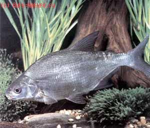 Белоглазка (Abramis sapa)