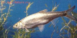 Востробрюшка (Hemiculter leucisculus)