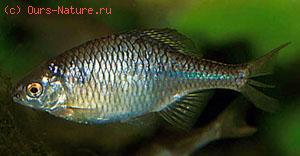 Горчак (Rhodeus sericeus)