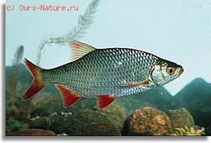 Краснопёрка (Scardinius erythrophthalmus)