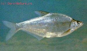 Лещ белый (Parabramis pekinensis)