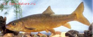 Маринка (Schizothorax intermedius)