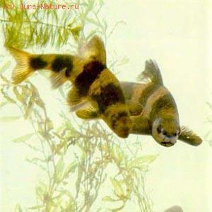 Пескарь-лень (Sarcocheilichthys sinensis)