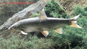 Подуст (Chondrostoma nasus)