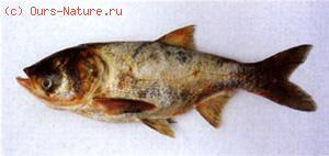 Толстолоб пёстрый (Aristichthys nobilis)