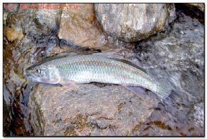 Троегуб (Opsariichthys uncirostris)