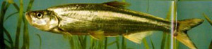 Уклей (Culter alburnus)