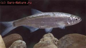 Уклейка (Alburnus alburnus)