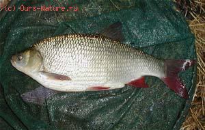 Язь (Leuciscus idus)