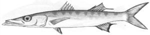 Сфирена-гуачанчо (Sphyraena guachancho)