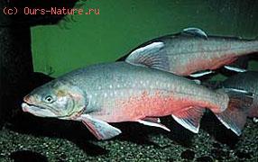Голец арктический (Salvelinus alpinus)