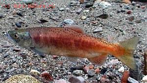 Нерка (Oncorhynchus nerka)