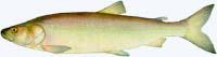 Нельма (Stenodus leucichthys)