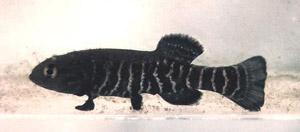 Новумбра (Novumbra hubbsi)