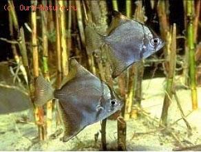 Рыба-ласточка серебряная (Monodactylus argenteus)