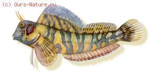 Собачка сфинкс-морская (Blennius sphinx)