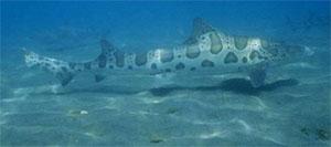 Акула леопардовая (Triakis henlei)