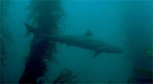 Акула суповая (Galeorhinus zyopterus)