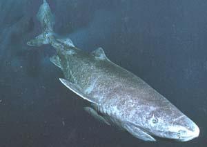 Акула полярная (Somniosus microcephalus)