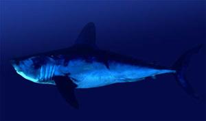 Акула сельдевая (Lamna nasus)
