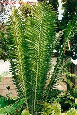 Энцефаляртос гильдебрандта (Encephalartos hildebrandtii)