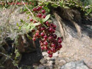 Лосония невооружённая (Lawsonia inermis)