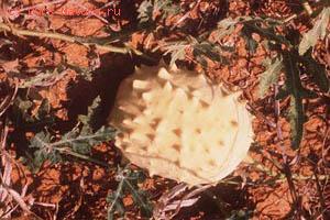 Акантосициос нодена (Acanthosicyos naudinianus)