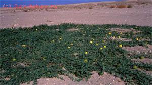 Колоцинт (Citrullus colocynthis)