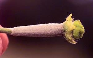 Люффа цилиндрическая (Luffa cylindrica)