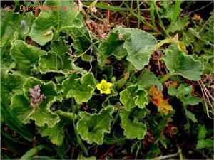 Огурец бешенный (Ecballium elaterium)