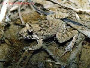 Лягушка прибрежная тропическая (Rana limnocharis)