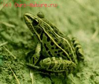 Лягушка чёрнопятнистая (Rana nigromaculata)