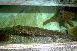 Саламандра исполинская (Andrias  japonicus)