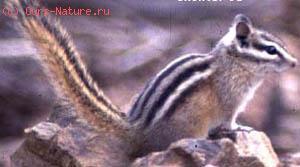 Белка длинноносая (Rhinosciurus laticaudatus)
