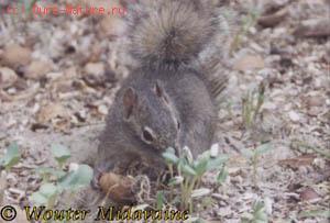 Белка скалистая (Sciurotamias davidianus)