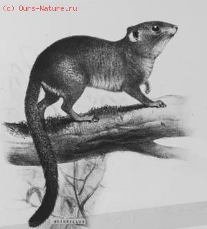Белка-мошка (Sciurillus pusillus)