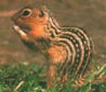 Бурундук восточноамериканский (Tamias strialus)