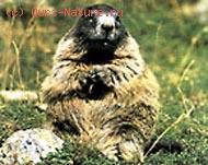 Сурок альпийский (Marmota marmota)