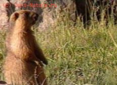 Сурок гималайский (Marmota himalayana)