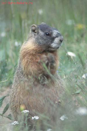 Сурок желтобрюхий (Marmota caligata)
