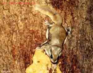 Летяга скальная (Eupetaurus cinereus)