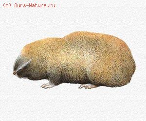 Слепыш малый (Spalax leucodon)