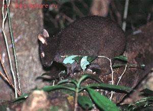 Заяц древесный японский (Pentolagus furnessi)