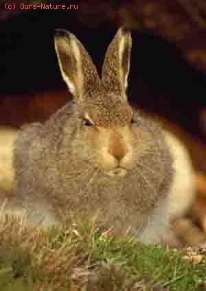 Заяц курчавый тибетский (Lepus osiostolus)